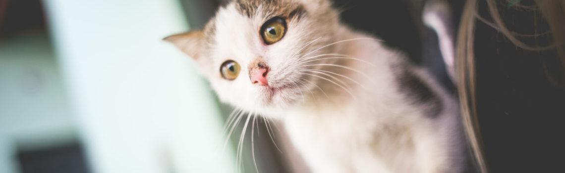 Koty atoksoplazmoza.