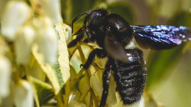 czarna pszczoła